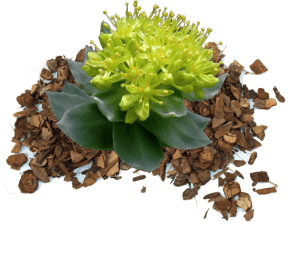 rhodiola rosea ingredient